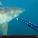 Great White Shark Scares Spear Fisherman